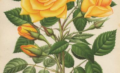 Rose Madame Pierre Cochet